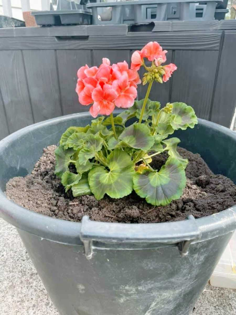 Woman shares photo of lovely new geraniums to honor late grandmother