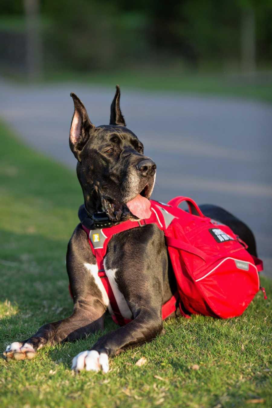 A big black service dog wearing a red vest