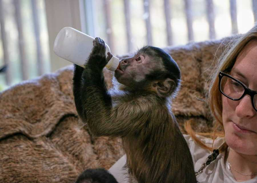 A small primate drinks milk from a bottle