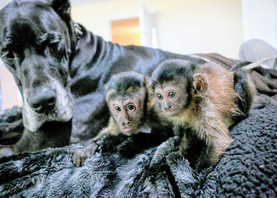 A big black service dog looks curiously at a pair of primates