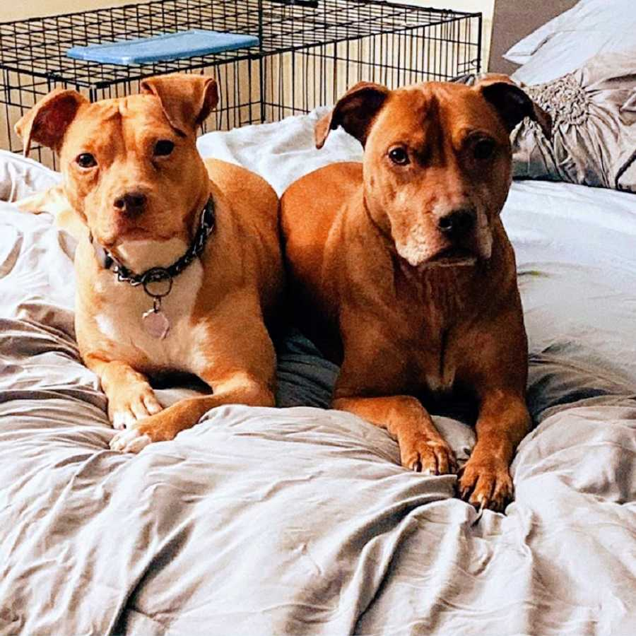 Two brown dogs lie next to each other on a bed