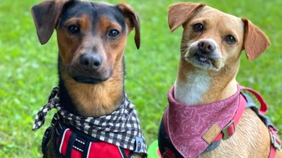 Two dogs in scarfs sitting next to each other on grass