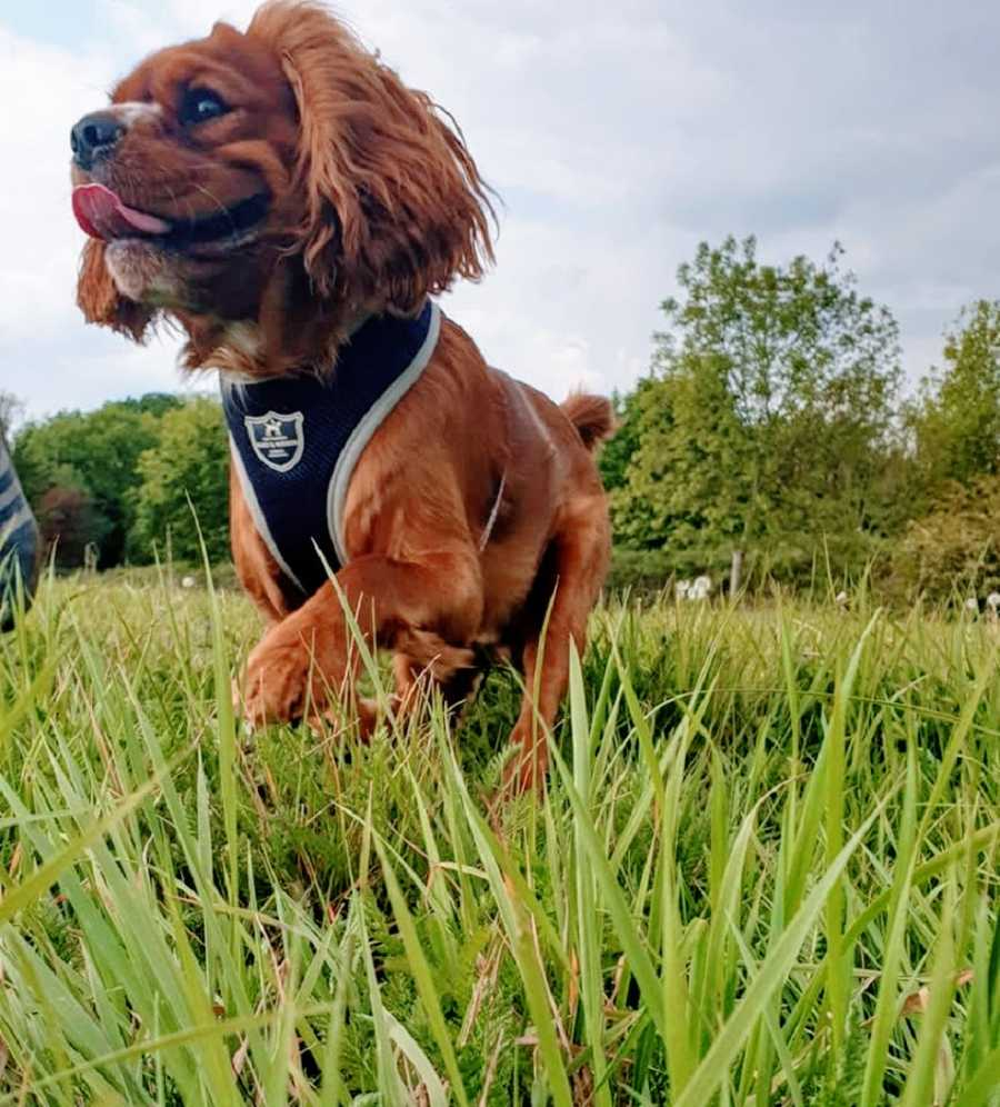 Small brown assistance dog in grass
