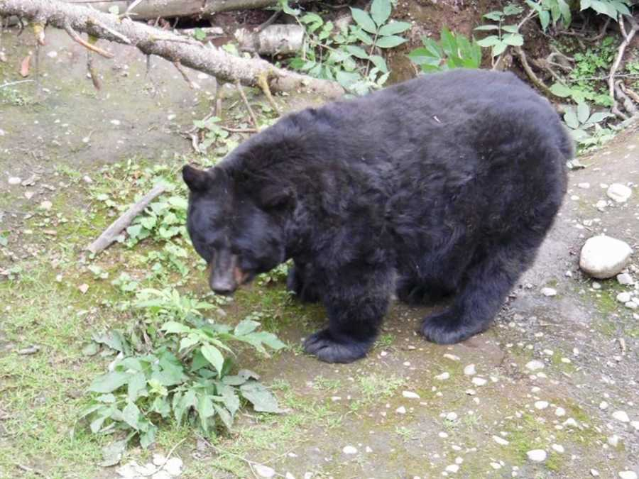 bear that almost killed homeless man