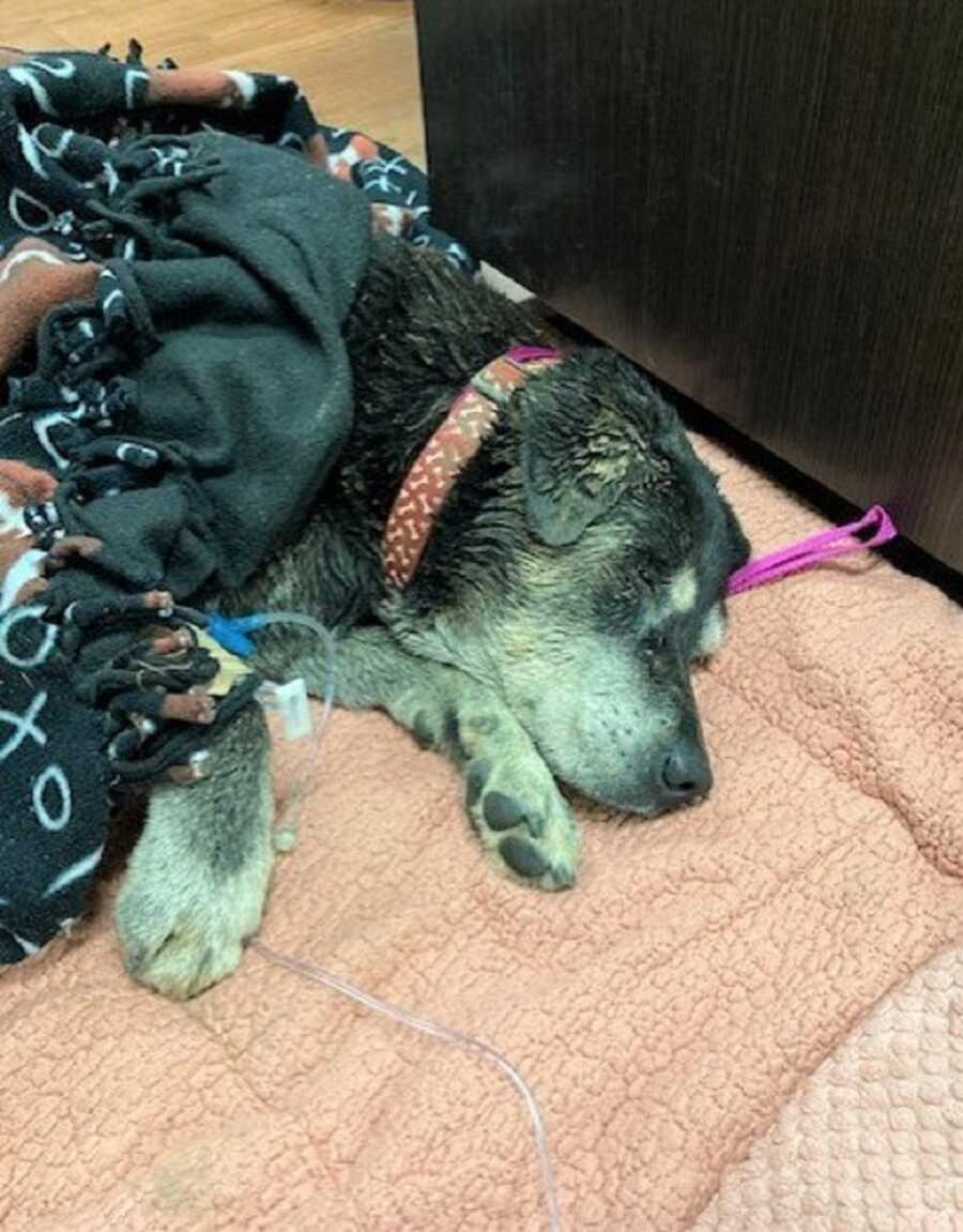 Deaf dog, Zoey, receives IV and rests after being stuck in the storm drain all day.