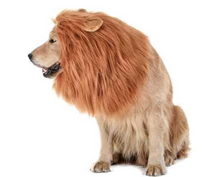 Lion's mane dog costume for Halloween.